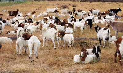 Goats in fields of Google